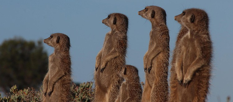 meerkat_header