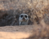 Meerkat Activity Tours Oudtshoorn
