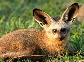 Shy5 Bat-Eared Fox