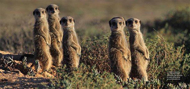 Meerkats at De Zeekoe